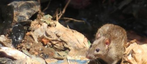 La peste est transmise par les puces sur les rats.