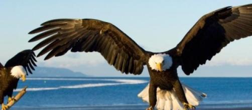 Un aigle à tête blanche ou pygargue