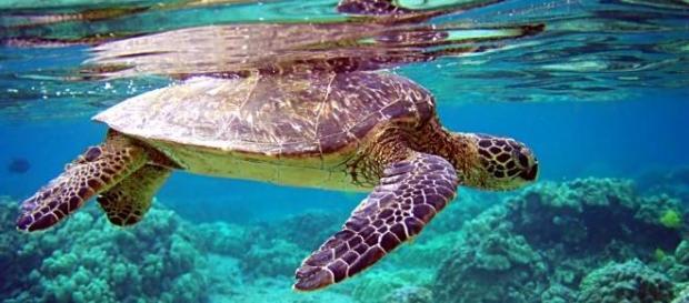 Chelonia mydas: tartaruga-verde