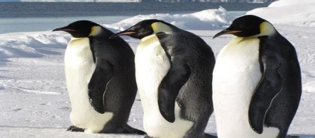 Pinguinii au un deficit in perceptia gustului