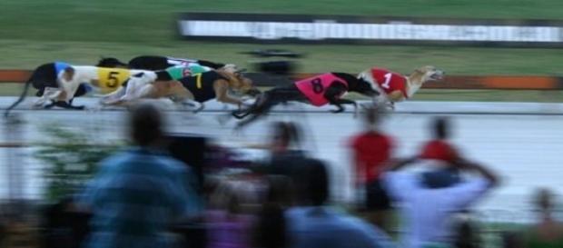 Cruelty allegations rock Aussie greyhound racing