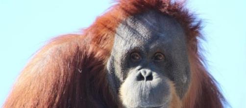 orangotangos fêmeas violentadas por humanos