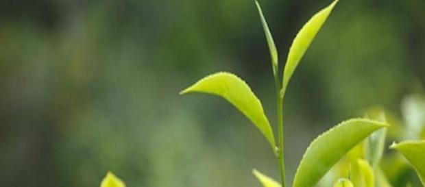 Té verde y embarazo. Nuevas reflexiones