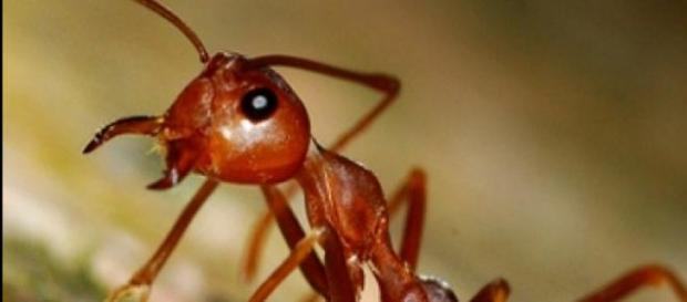 Es la especie de hormiga más difundida en el orbe