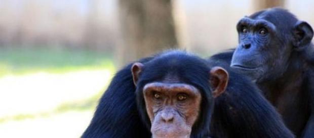 Chimpancés y humanos son muy parecidos