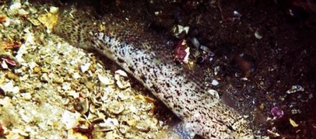 O Caboz de Sesimbra, nova espécie encontrada.