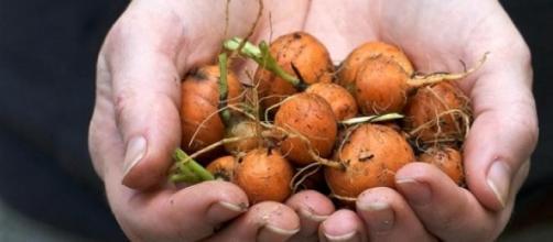 Cenouras parisienses de produção caseira