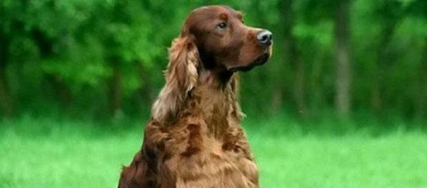 Jagger, perro envenenado.