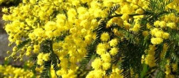 Acacia sp. (Fabaceae) em pleno florescimento