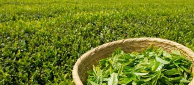 Efectele adverse ale ceaiului verde
