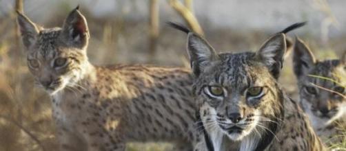 Lince está  criticamente em perigo de extinção