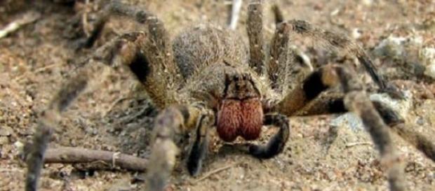 La araña errante brasileña es muy peligrosa
