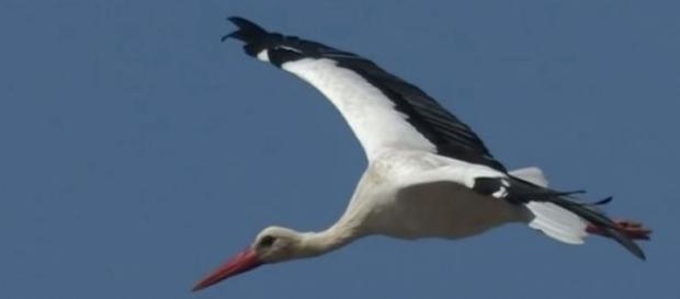 źródło: YouTube Pomagamy chronić migrujące bociany