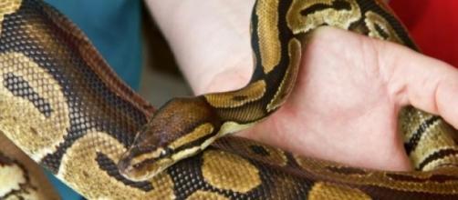 Un python royal entre les mains de son soigneur
