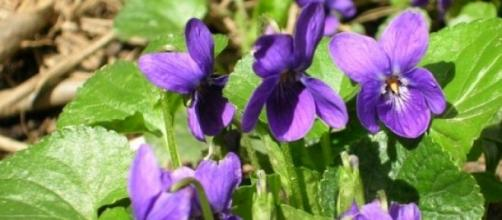 L'arrivée des violettes dans les sous-bois