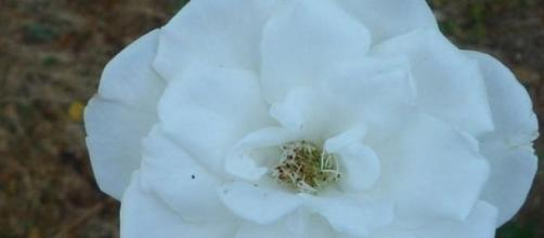 white rose of york, symbolic of yorkist line
