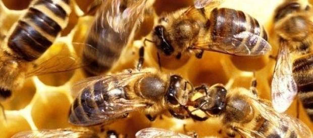 Un roi de peste 1000 de albine a atacat un barbat
