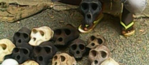 Les crânes des singes saisis par la gendarmerie.