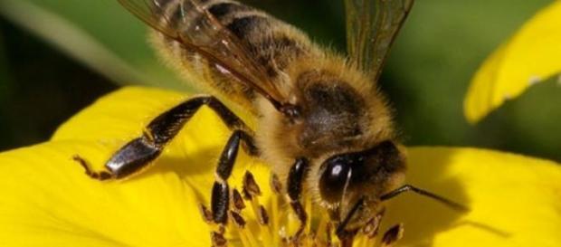 Albinele, amenintate de disparitie!