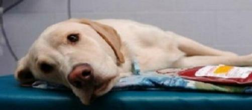 Un cane su lettino del veterinaio