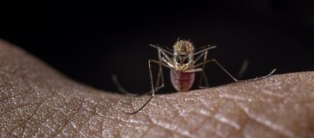 Aedes Aegypti - mosquito transmissor da dengue