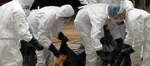 Gripa Aviara da tarcoale Romaniei