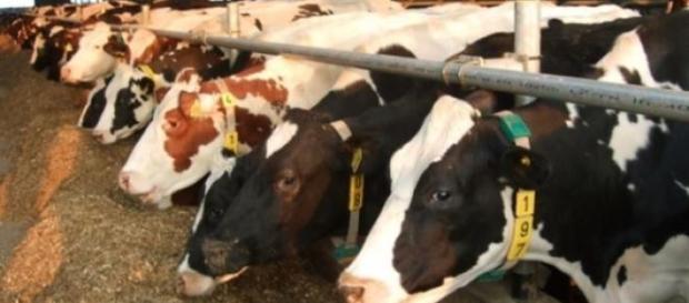 Laptele de vaca romanesc in pericol