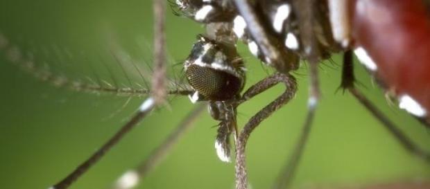 Imagem de Aedes aegypti fêmea