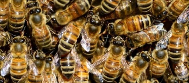 Bienensterben: Verluste für Österreichs Imker