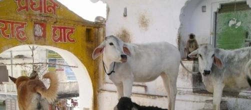 Vaca: um dos animais sagrados para os hindus