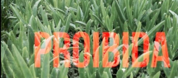 O chorão-das-praias é considerado praga.