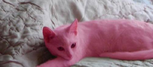 Gato foi pintado de cor-de-rosa pela sua dona.