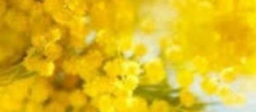 La mimosa, simbolo della festa della donna