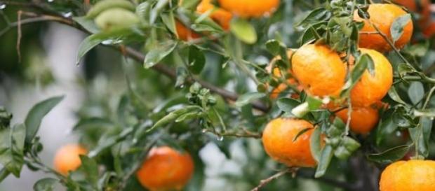 Beneficiile clementinelor
