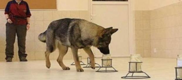 Perro entrenado para detectar cáncer