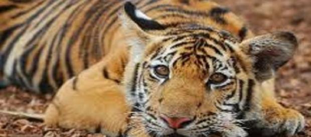 Tigre domesticado por los monjes budistas