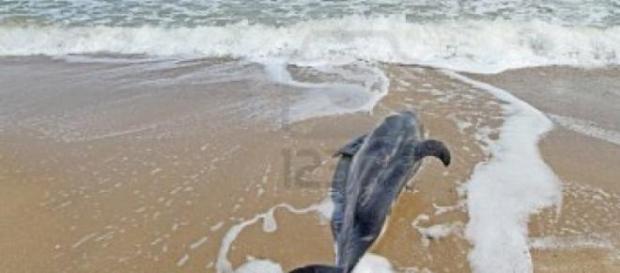 Un delfin eșuat pe o plaja