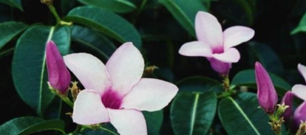 C. madagascariensis: Bonita e perigosa!