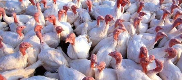 Des élevages de dindes frappés par la grippe H5N2.