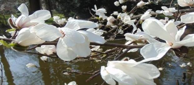 Kwiaty magnolii. fot.J.Lampert