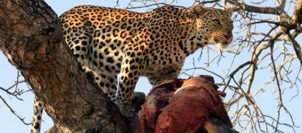 Un copil de 2 ani  în țarcul unui ghepard