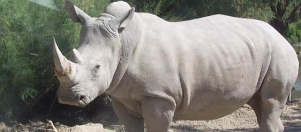 Em 1960 existiam mais de 2000 rinocerontes-brancos
