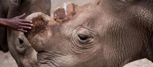 Rinoceronte-branco extinto. (Foto: twitter)