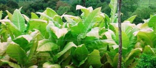 Las plantas de tabaco; nuevos y buenos usos