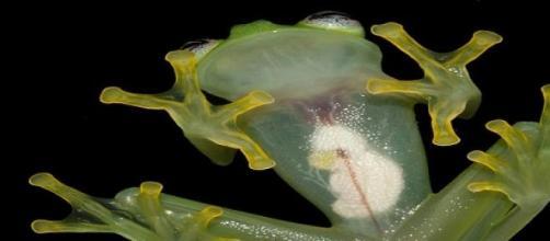La Hyalinobatrachium dianae