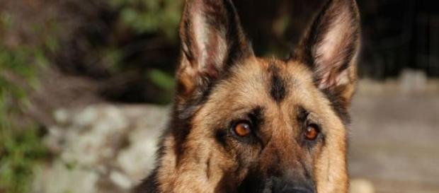 Pastor alemán, un perro multifacético