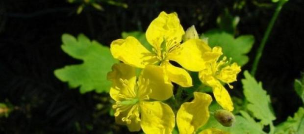 Rostopasca planta care luptă cu nenumărate boli