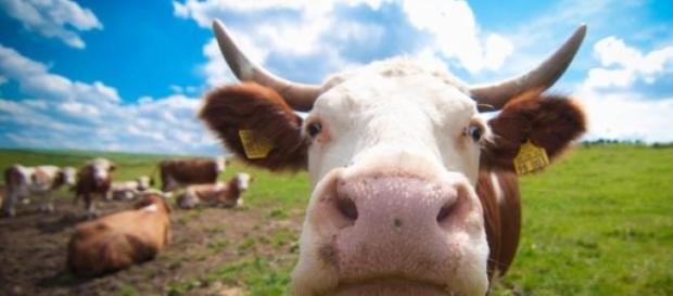 A vaca Jersey é vista como demoníaca