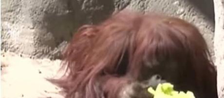El caso de 'Sandra' la orangutana es emblemático