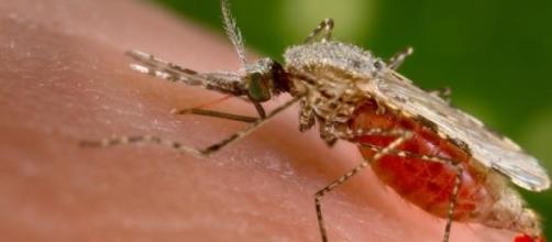 Mosquito causador de Malária